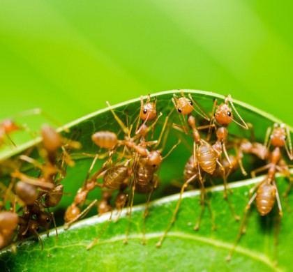 Ants have become the most successful terrestrial macro-scale species this planet has ever seen on account of their highly coordinated social organization, an ability to modify habitats, exploit resources, and defend themselves.